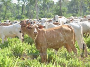 So gelang die Tokenisierung einer Rinderfarm